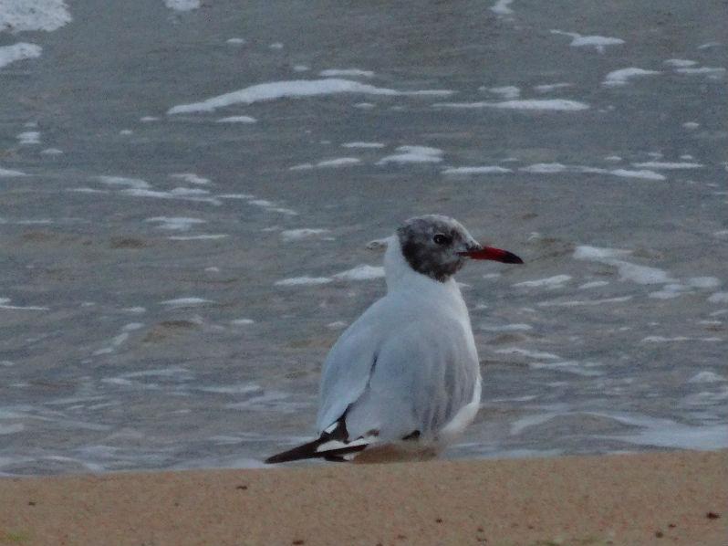 plage de Paracou mouette